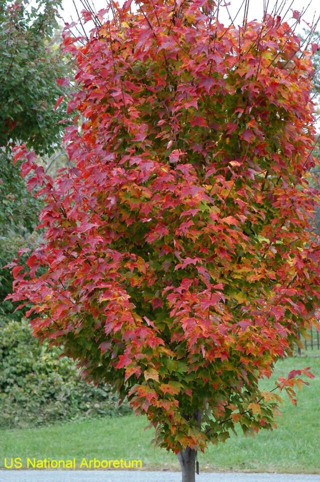 Acer rubrum 'Red Rocket'  / Acer rubrum 'Red Rocket'  - spreads 8-10'.  Good for city yards