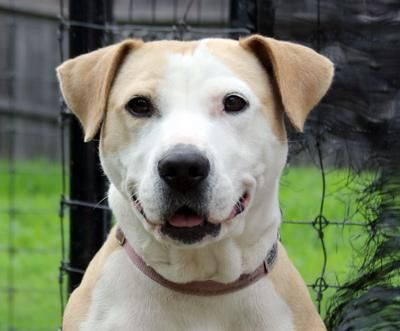 Meet Tilly, an adoptable Pit Bull Terrier looking for a forever home. If you're looking for a new pet to adopt or want information on how to get involved with adoptable pets, Petfinder.com is a great resource.