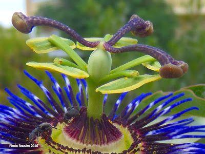 ΡΟΔΟΣυλλέκτης: Πασιφλόρα ή Ρολόι, το Λουλούδι του πάθους