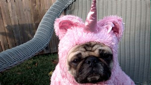 This fab unicorn pug. | The 40 Greatest Dog GIFs Of All Time