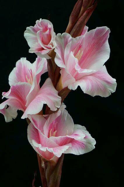 best 25 gladiolus ideas on pinterest gladiolus flower gladioli and gladiolus wedding flower. Black Bedroom Furniture Sets. Home Design Ideas