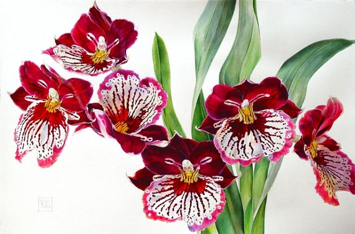 Miltoneopsis'Red Tide' SOLD
