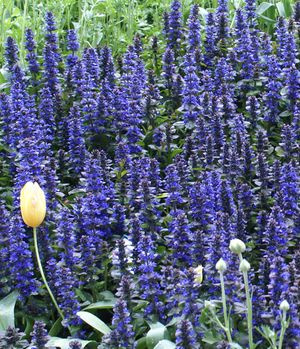 Di's Delightful Plants Ajuga reptans 'Catlins Giant' Pot Size: 40-50mm Common name: Purple Carpet Bugle Flower  Ajuga reptans 'Catlins Giant' Exotic ground cover that has blue flowers which occur Oct-Dec It has bronze foliage and prefers a part-full sun position in a general soil Height:0.2 to 0.5 Width:0.3 to 0.5 #disdelightfulplants #plants #garden