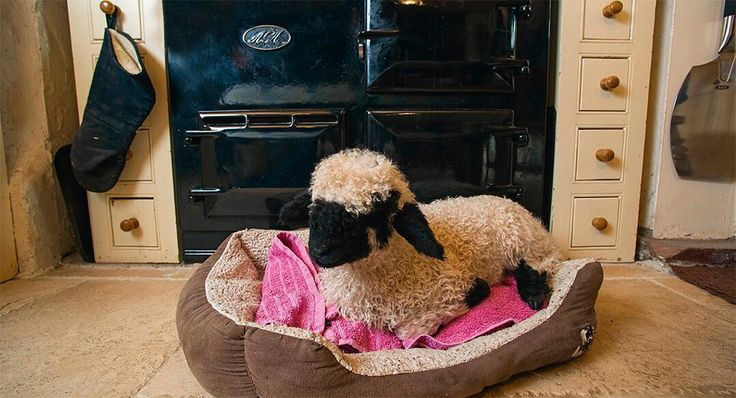 736 vind-ik-leuks, 20 reacties - Country Life magazine (@countrylifemagazine) op Instagram: 'It's not just humans who love @aga_cookers—Barry, a Valois Blackface lamb, is being hand-reared by…'