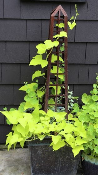 Lime green potato vine, variegated ivy and nasturtium leaves add needed color to this metal planter.