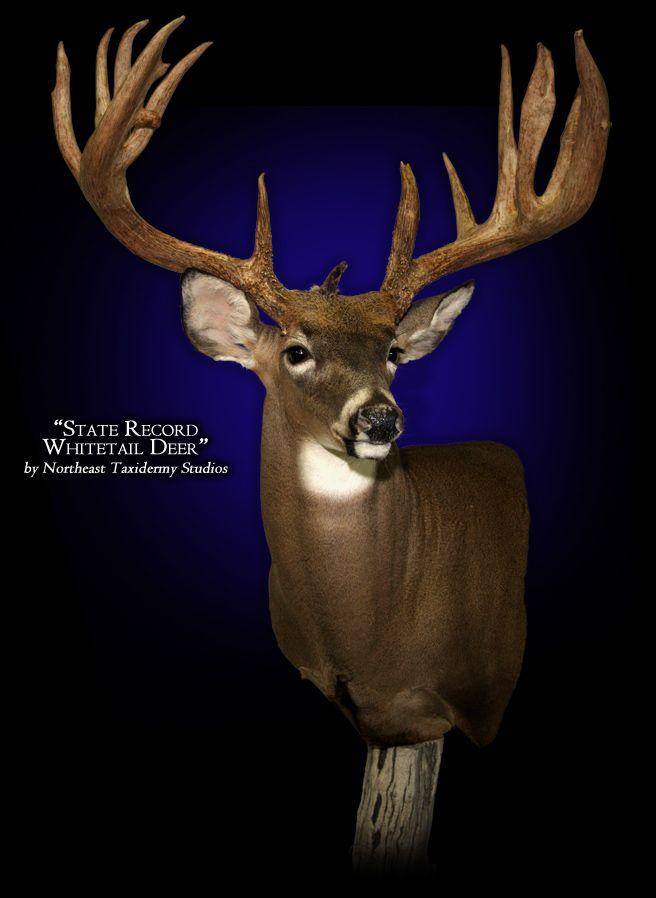 1000 Ideas About Deer Mounts On Pinterest European