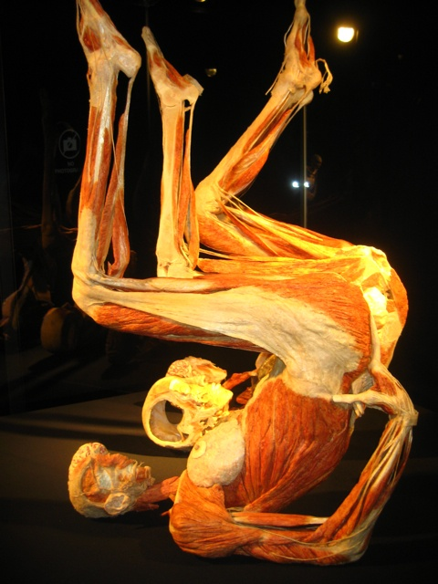 Plastinate figure of the muscle structure of the human body