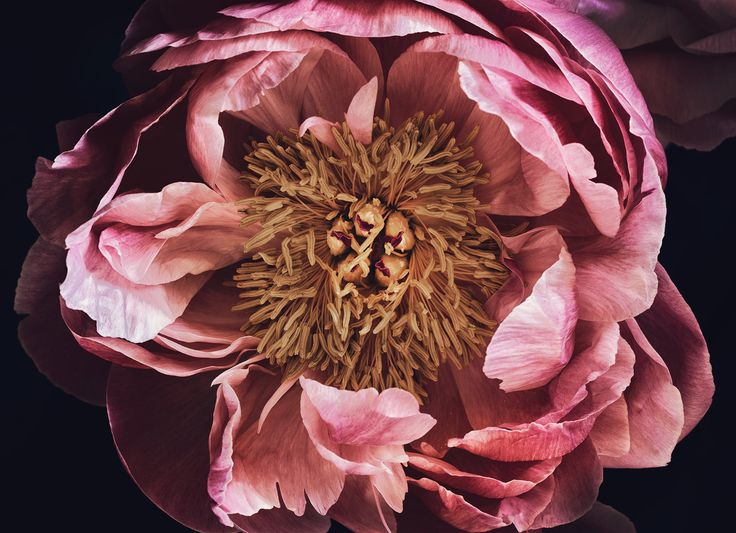 Peony from an arrangment shot on day 4. The perfect artwork to remember a beautiful bouquet. Floragraphica | Modern bouquet preservation with photography