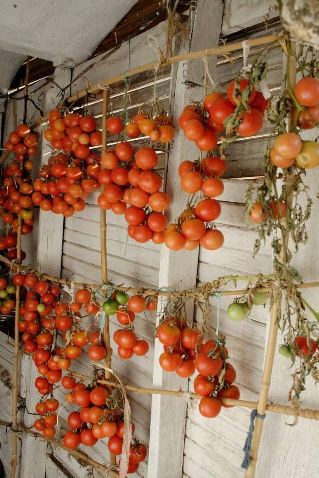 Tomates colgados