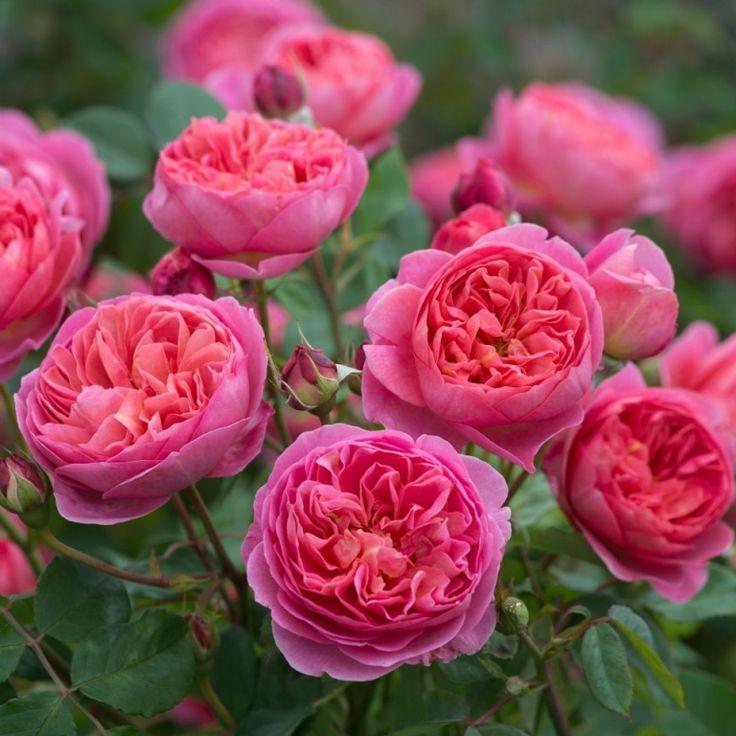 'Boscobel' | Potted English Roses. David Austin English Rose - Austin 2012 **SHADE TOLERANT**