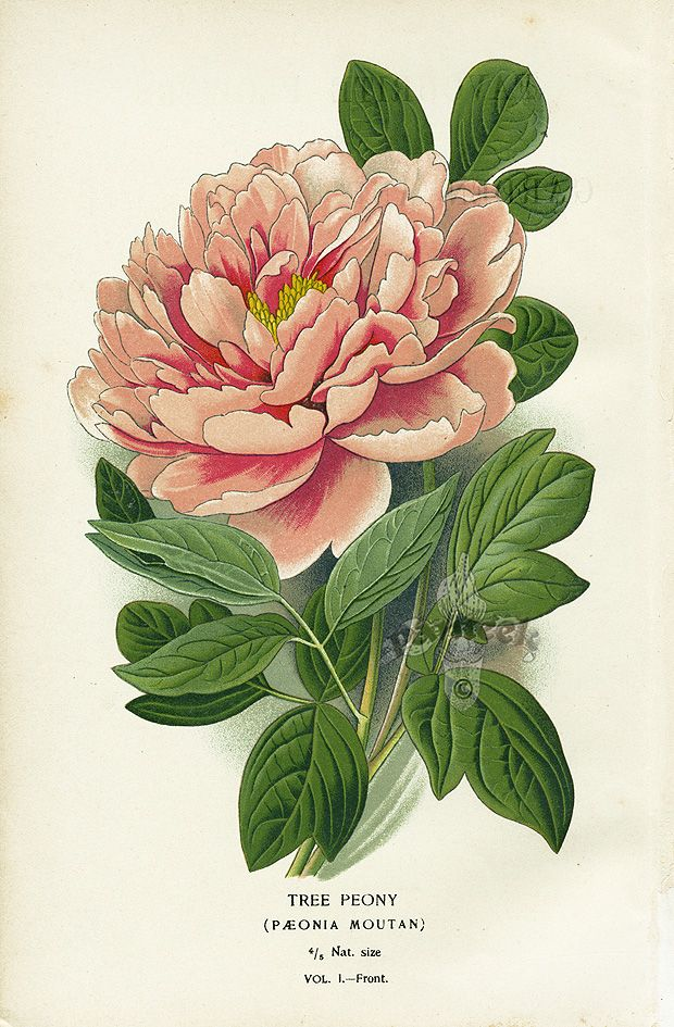 tree peony. panteek is a HUGE online gallery of antique botanical prints!