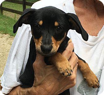 Hagarstown, MD - Miniature Pinscher Mix. Meet Blair - an adorable little, a puppy for adoption. http://www.adoptapet.com/pet/18427353-hagarstown-maryland-miniature-pinscher-mix