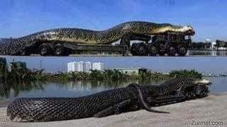 World's Largest Snake Captured in the Amazon?