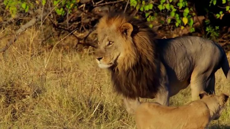 Epic african lion attacks another stock footage video 100
