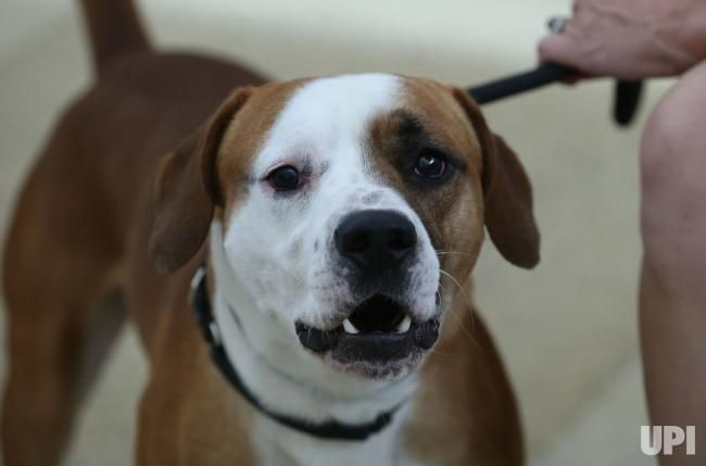 Brutus, a three-year-old Boxer/Beagle mix celebrates National Mutt Day by barking in the halls of the Missouri Humane Society of Missouri…