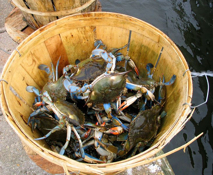 how to clean blue crabs whole