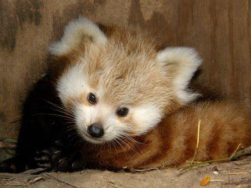 Baby Red Panda!
