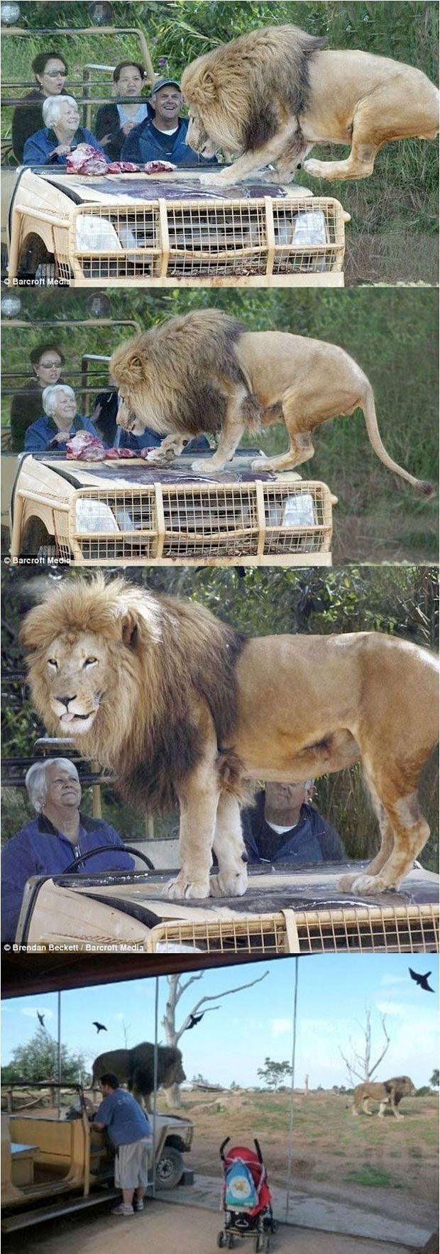 leoes caçando zebras gifs - Pesquisa Google
