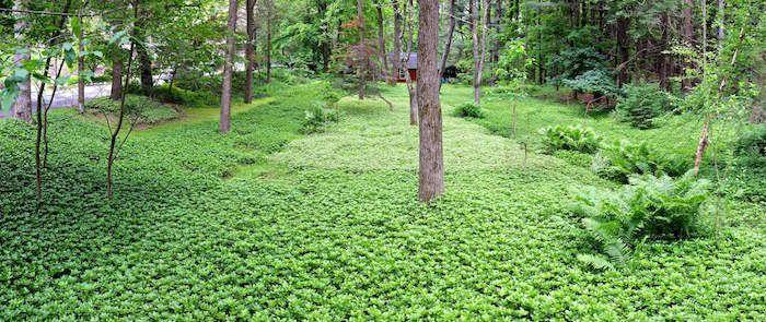 terrain ou jardin totalement recouvert de plantes tapissantes et rampantes couver sol