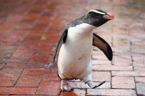 'Mr Munro' a Fiordland penguin walks leaving his paint prints on tiles at Taronga Zoo in Sydney, Australia | Getty Images