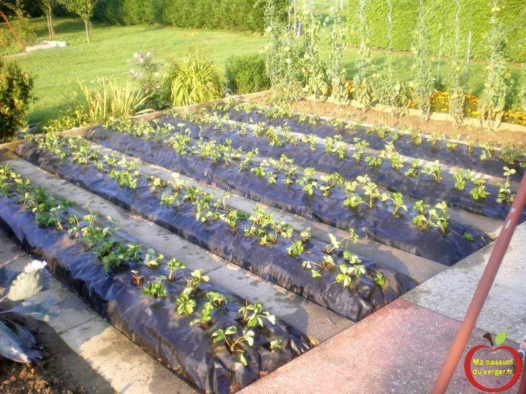 17 meilleures id es propos de plantation fraisiers sur for Jardin et plantation