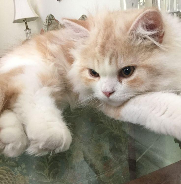 6 Month Old Long Hair Straight Ear Red White Tabby Kedi