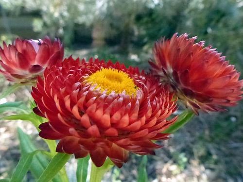 1800 best images about australian native plants on pinterest