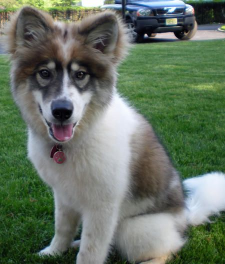 Golden Siberian Dogs | Dakota the Siberian Husky Mix | Dogs | Daily Puppy