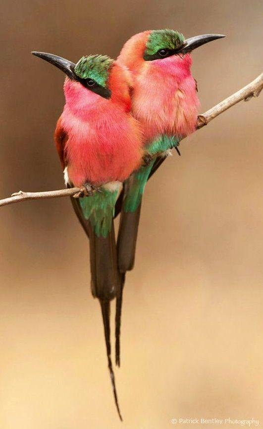 Cuddling carmines by Patrick Bentley Bee eaters via Paradise of Birds Southern…