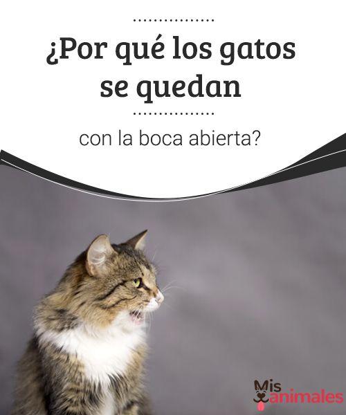 """""""¿Por qué los gatos se quedan con la boca abierta?  Posiblemente hayas visto a tu gato concentrado con la boca abierta, la razón de este comportamiento te sorprenderá. #gato #comportamiento #boca #curiosidades"""