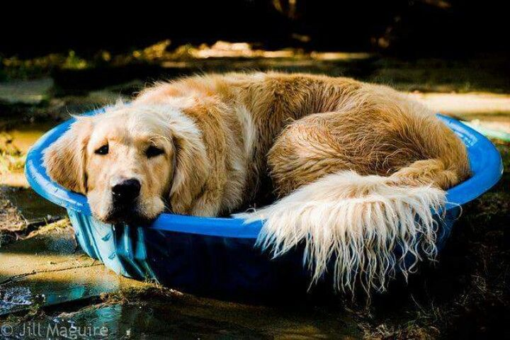 cheap golden retriever puppies for sale in wisconsin 1000 ideas about doggie pool on pinterest dog pools 9474