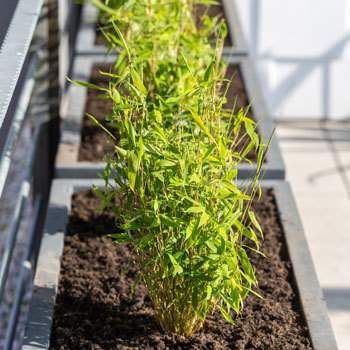 Bamboo Trees for Sale | Fast Growing Trees