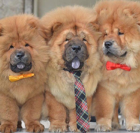 716 besten chau chau puppy bilder auf pinterest hunde chow chow welpen und haustiere. Black Bedroom Furniture Sets. Home Design Ideas