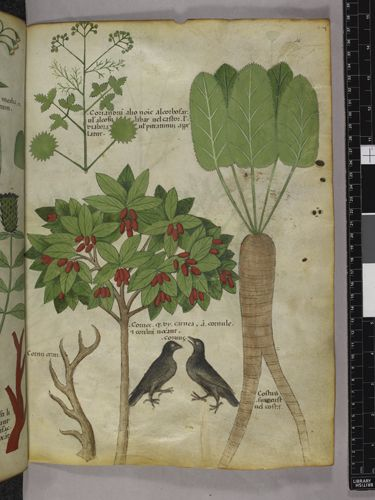 Herbal Manuscript (Sloane 4016), British Library, created in Italy (Lombardy), c. 1440