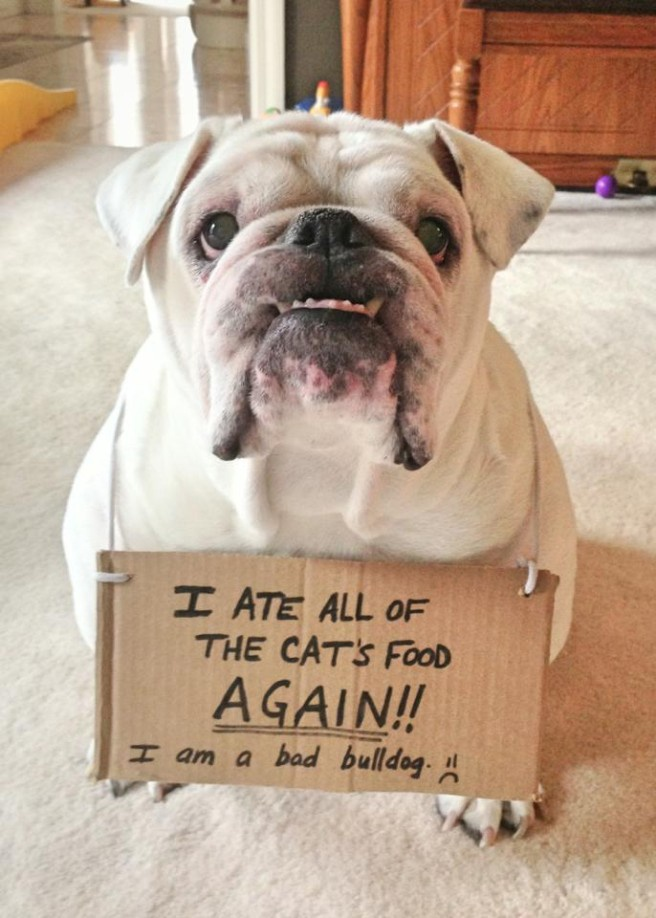 """""""I ate all of the cat's food AGAIN!! I am a bad Bull Dog. :( ~ Dog Shaming - Bull Dog"""