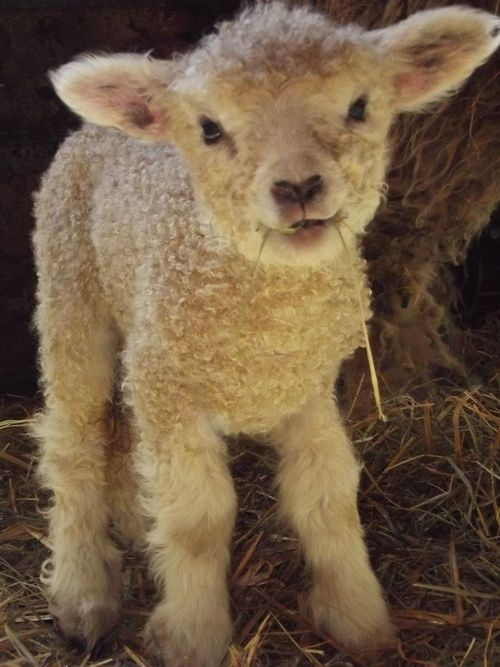 baby lamb --- So the next time you order lamb at a restaurant or super market think of this little guy. And then DON'T order the lamb!