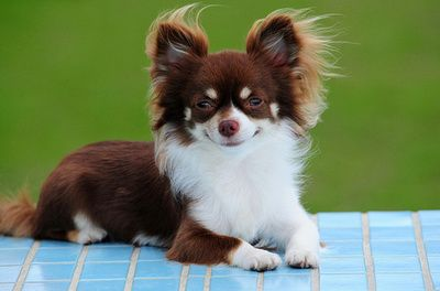 long haired chihuahua. Don't like the little dogs, but she/he is ADORABLE!