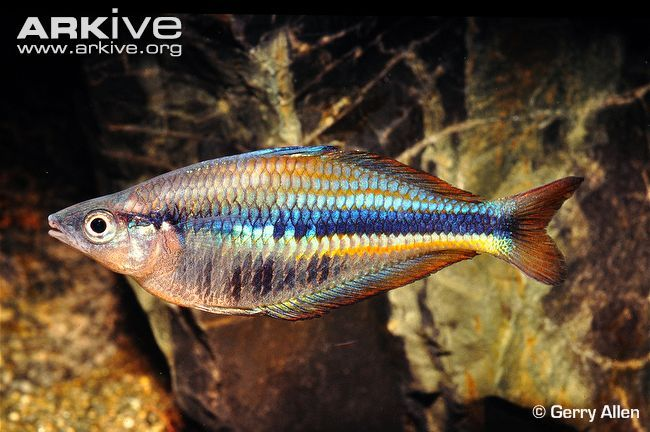 15 best agua dulce arcoiris images on pinterest fish for Freshwater rainbow fish
