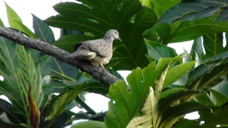 wild doves in the high tree