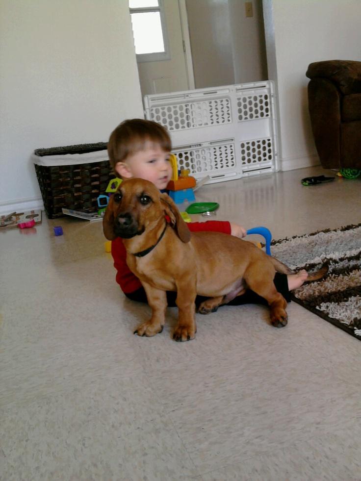 Boxer Bloodhound Mix Puppies Boxer basset hound mix.