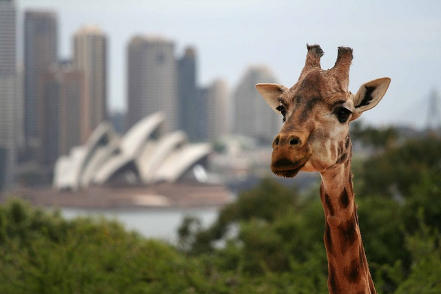 On Safari! A giraffe in the wild! - No, that's Sydney Opera House in the background. by Flickr user noonah
