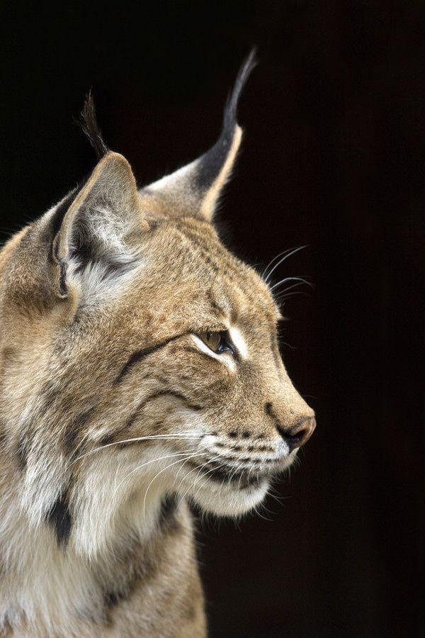 Een prachtige foto van een lynx om bij weg te dromen... (Foto: Emma Porter)