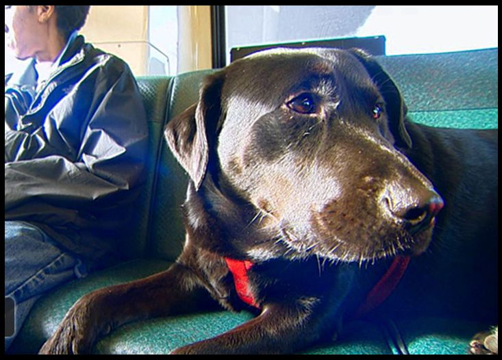 Seattle Dog regularly rides bus in RUSH HOUR: by herself! | John Hawkins' Right Wing News