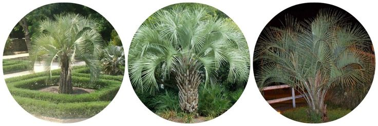 The best cold hardy palm trees for your area cold hardy