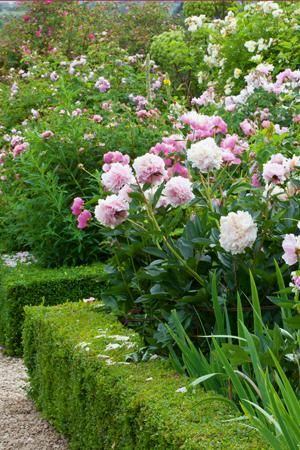 Low hedge around peony and rose garden - excellent idea