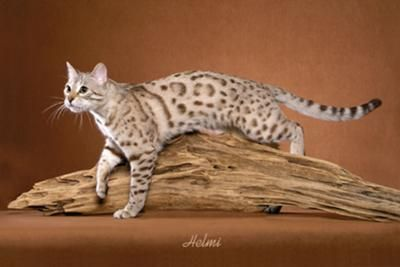 Snow Bengal Kittens for Sale and