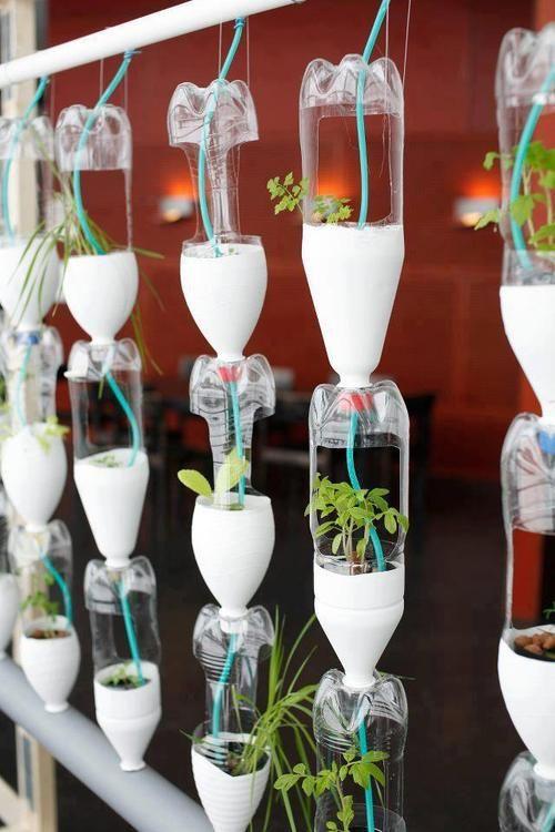 Ervas plantadas em garrafas pet.