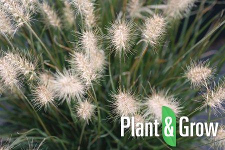 41 beste afbeeldingen van siergrassen plant grow siergrassen konijn en kruidengeneeskunde. Black Bedroom Furniture Sets. Home Design Ideas