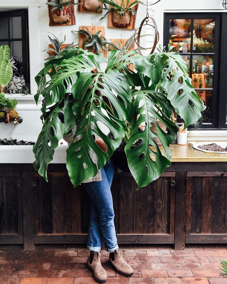 Speechless. This Monstera adansonii was propagated by cutting from an extremely mature plant. The leaves get large when the aerial roots at each leaf node make contact and grow onto a stake or other support. This magnificent specimen is the newest member of our personal collection but please do come visit as it certainly is worth seeing in person!