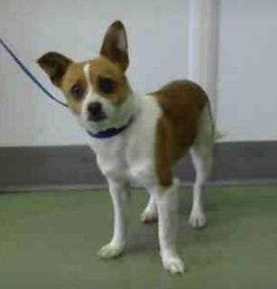 DEVORE,CA. Will be on EUTH LIST 05/19/18. Linus ID#A696034. 2 yr. old male Chihuahua. Rescue only. Possible fear biter. Arrived 05/13/18.